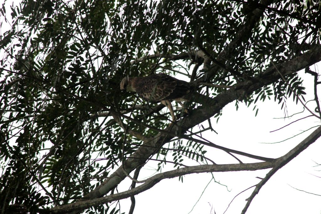 Hawk Eagle @ Dubare Reserve Forest
