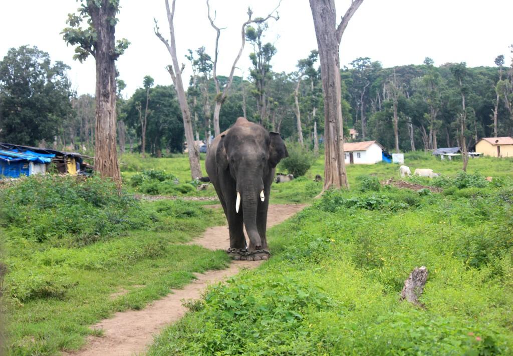 Elephant @ Dubare