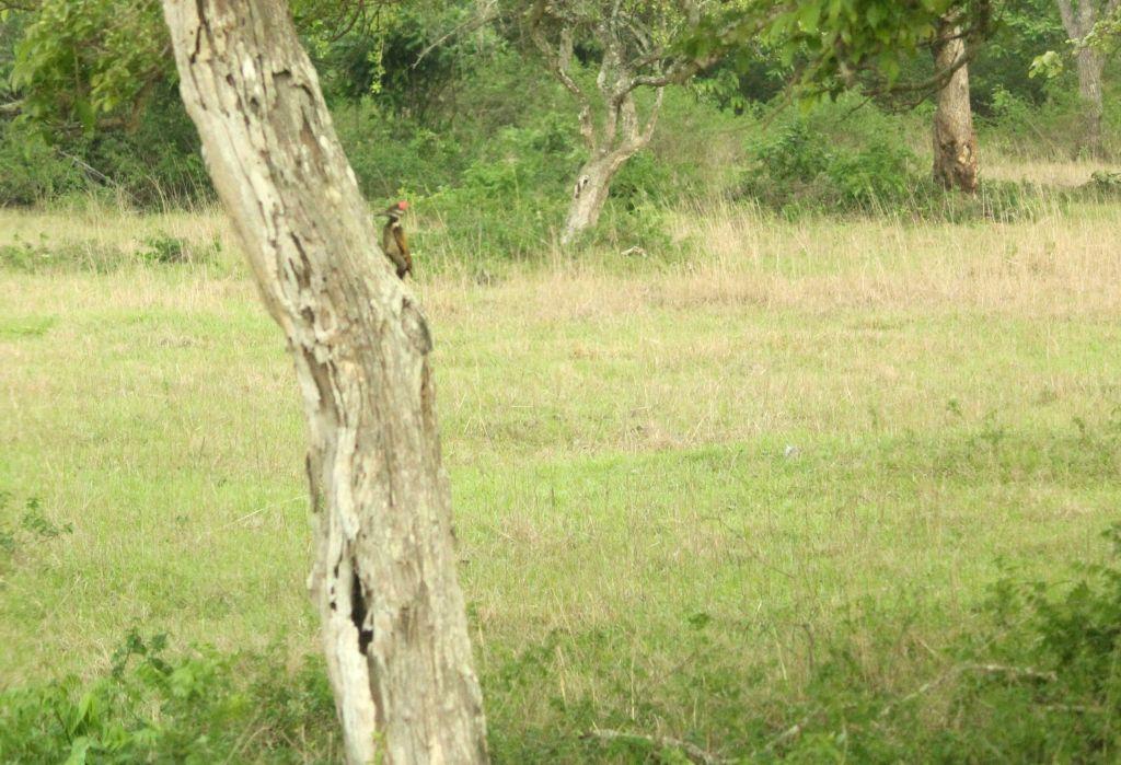 Woodpecker @ Bandipura National Park