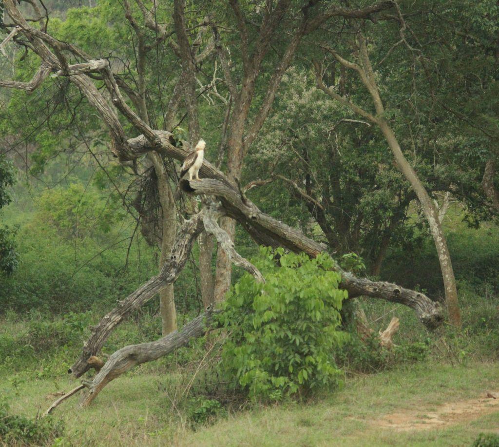 Hawk @ Bandipura National Park