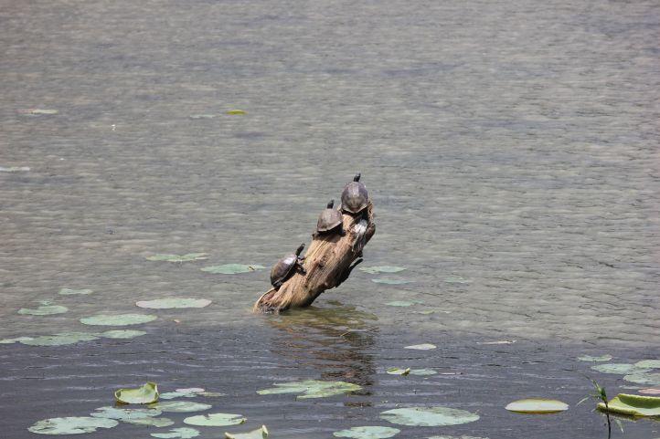 Tortoise @ BR Hills lake