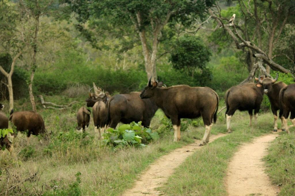 Gaur @ Bandipura National Park