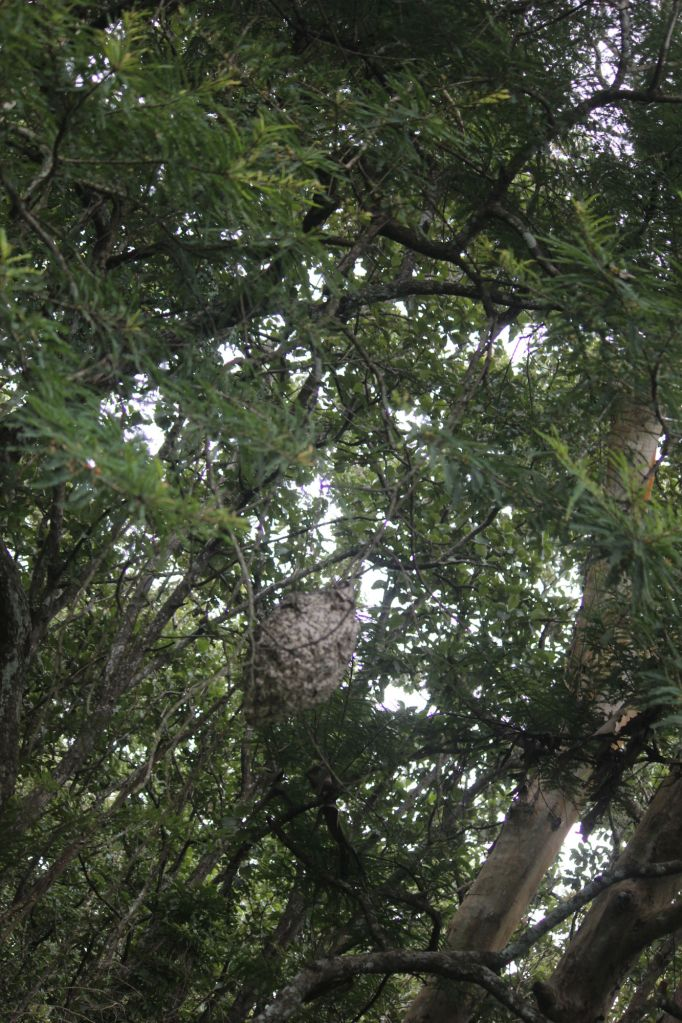 Paper wasp nest @ Dubare Reserve Forest